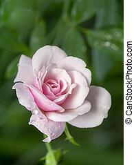 verdoezelen, roos, achtergrond., op, damast, bloem, afsluiten, roze