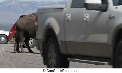 vereint,  bisons,  national, Staaten,  Park,  Yellowstone