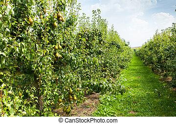 verger, chargé, soleil, poire, arbres, fruit