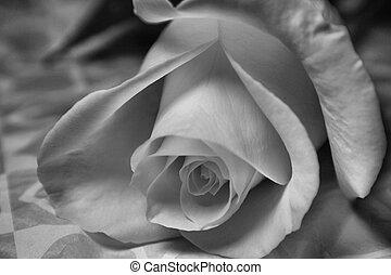 vergine, rosa