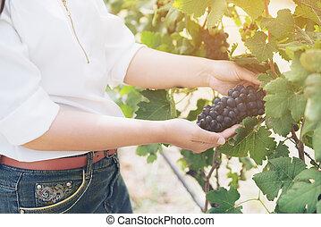 verificar, vinhedo, trabalhador, uvas, vinho