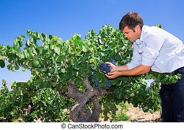 verificar, winemaker, oenologist, uvas, bobal, vino