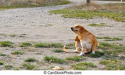 verirrter hund, versuch, zu, kratzen, ihr, pelz, .