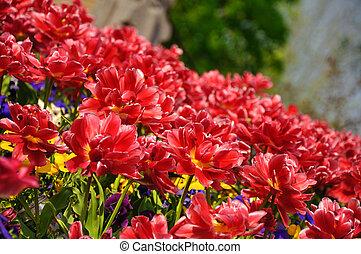 vermelho, blossing, tulips, em, keukenhof, parque, em, holanda