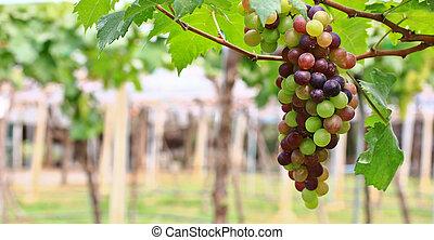 vermelho, grapes.