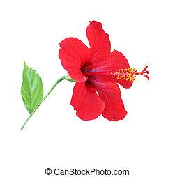 vermelho, hibisco
