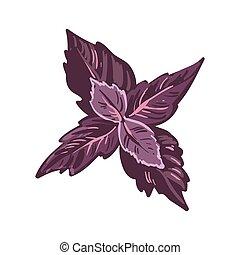 vermelho, manjericão, folhas, realístico, vetorial, illustration., basilicum, culinário, herb.