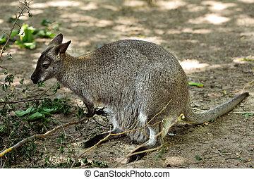 vermelho, -, necked, wallaby