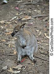 vermelho, necked, wallaby