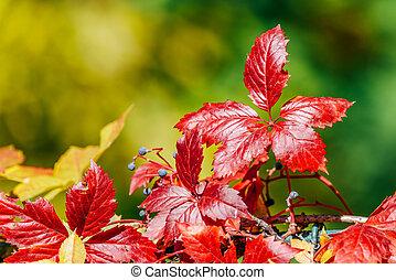 vermelho, outono, árvore, folhas, em, estação queda