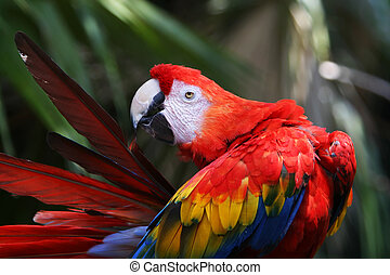 vermelho, papagaio