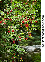 vermelho, rowan, árvore, bagas, ligado, ramos