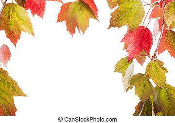 vermelho verde, maple outono sai