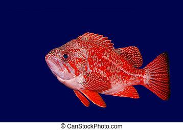 Vermillion Rockfish - Sebastes Miniatus shown against dark blue background