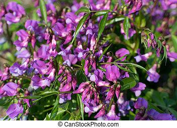 vernus, lathyrus, erwt, vetchling, of, wikke, lente