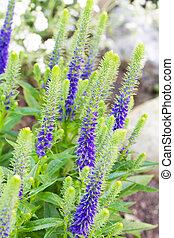 Veronica flowering spikes in a garden
