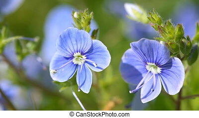 Veronica flowers blossom in the spring