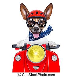 verrückt, albern, motorrad, hund