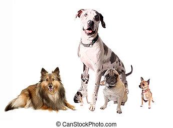 verschieden, rassen, von, hunden