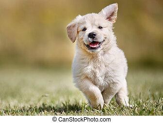 verspielt, goldenes, junger hund, apportierhund