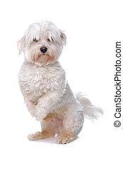 verspielt, maltesisch, hund