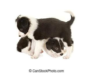 verspielt, rand- collie, hundebabys
