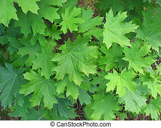 vert, érable, fond, feuilles