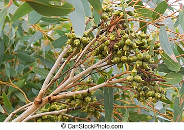 Perte australie feuilles sans feuilles arbres automne for Plante pendante