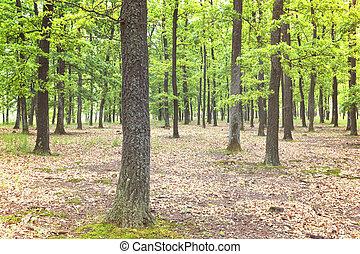 vert, chêne, forêt, Arbres