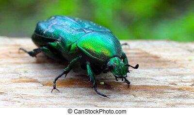 vert, coléoptère