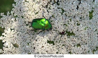 vert, coléoptère, rose, chafer