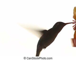 vert, colibri