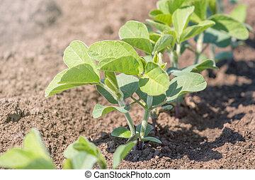 soja champ haricot plante image plante photo champ haricot soja. Black Bedroom Furniture Sets. Home Design Ideas