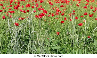 vert, fleurs, blé, pavot