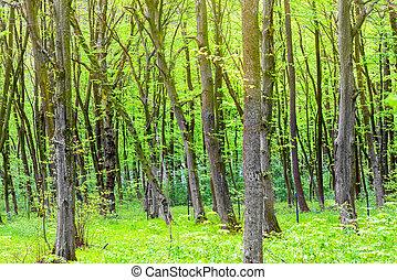 vert, forêt, Arbres
