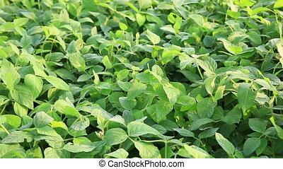 vert, graine soja, usines