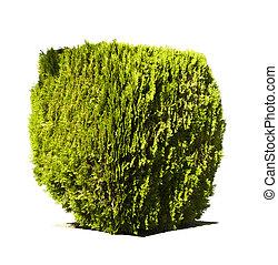 vert, jardin, arbrisseau