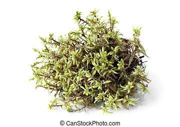 vert, mousse, (pleurozium, schreberi)