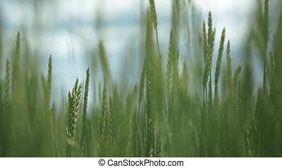 vert, panorama, blé, champ vert