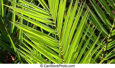 vert, paume, juteux, arbre