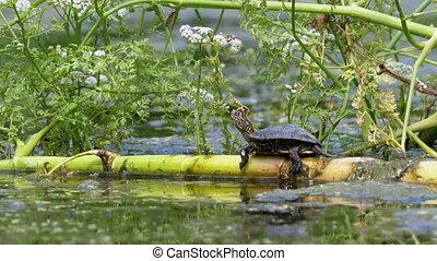 vert, peu, algues, tortue, séance, marsh.