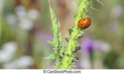 vert, plant., coccinelle, macro., petit