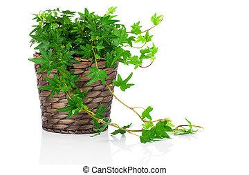 vert, pot, (hedera, lierre, helix)