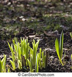 vert, pousses, de, tulipe, fleurs, macro, peu profond, dof, foyer sélectif