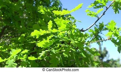 vert, soleil, feuilles, chêne, jeune