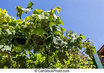 vert, vigne
