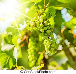 vert, vigne, raisins