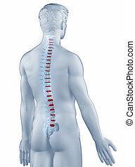 Vertebra position anatomy man isolated posterior view