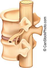 Illustration showing a single human vertebrae