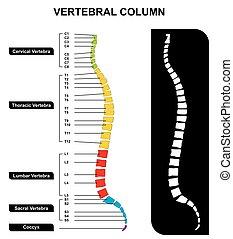 vertebral, espina dorsal, columna, anatomía, diagrama